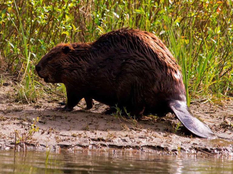 Охота на бобра в Нижегородской области